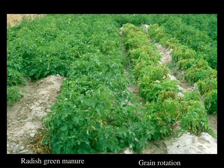 Radish green manure