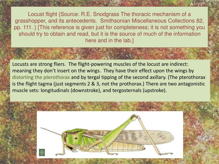 Locust flight {Source: R.E. Snodgrass The thoracic mechanism of a grasshopper, and its antecedents.  Smithsonian Miscellaneous Collections 82, pp. 111. } [This reference is given just for completeness; it is not something you should try to obtain and read, but it is the source of much of the information here and in the lab.]