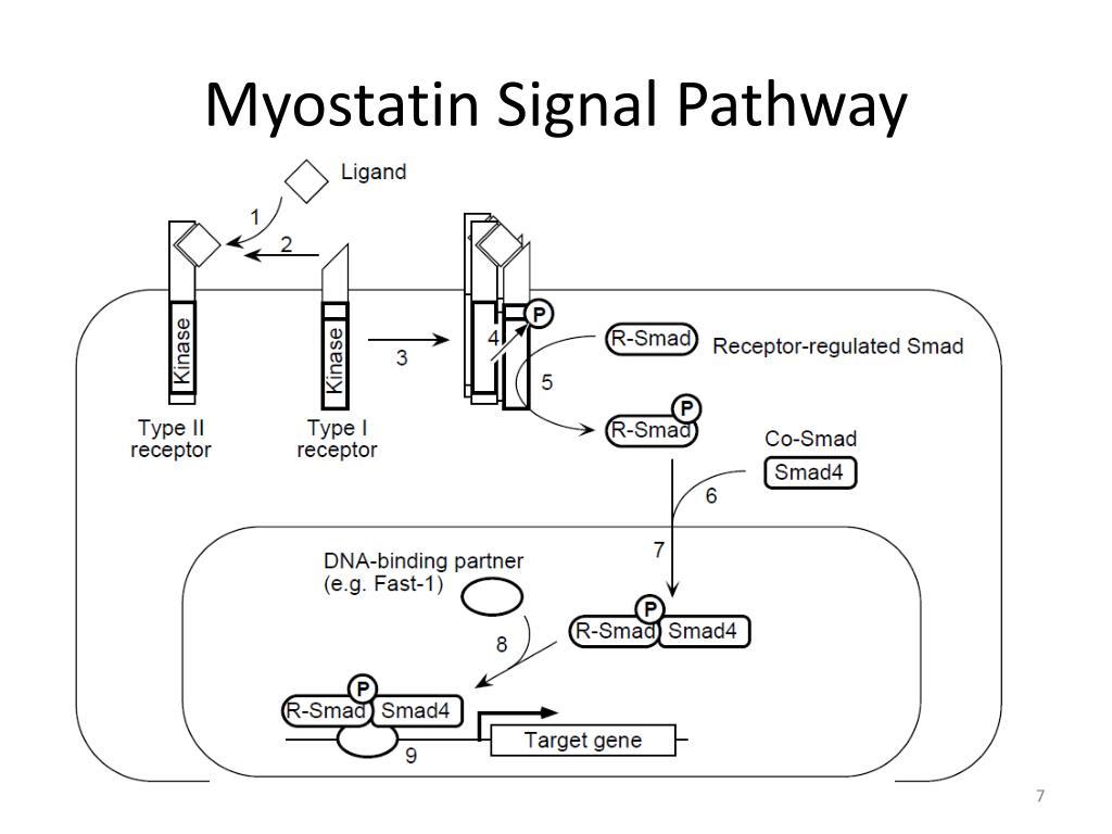 PPT - Myostatin PowerPoint Presentation - ID:2324262