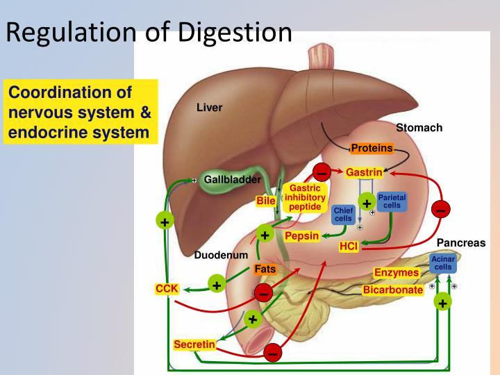 Regulation of Digestion