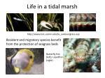 life in a tidal marsh3