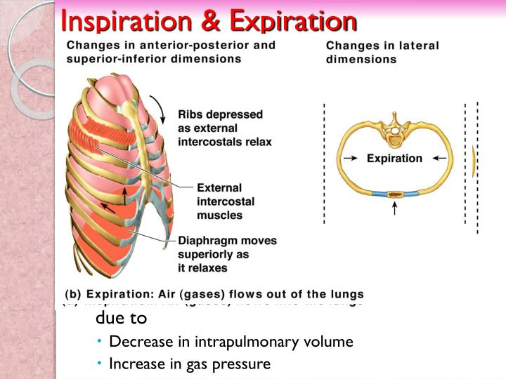 Inspiration & Expiration