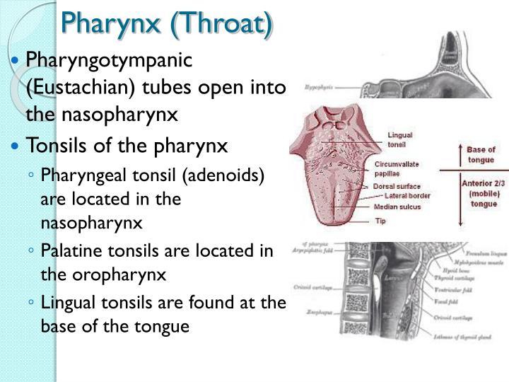 Pharynx (Throat)