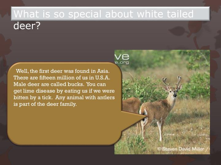 What is so special about white tailed deer?