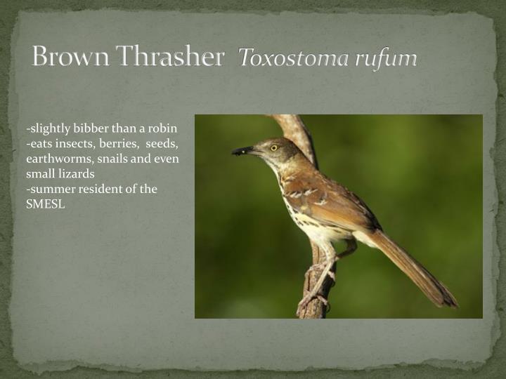 Brown Thrasher