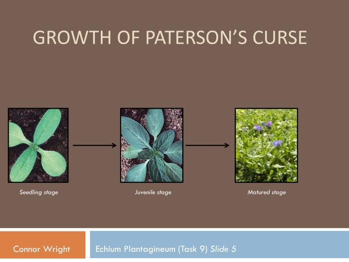 Growth of Paterson's Curse