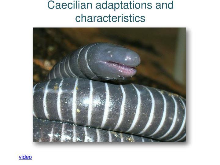 Caecilian adaptations and characteristics