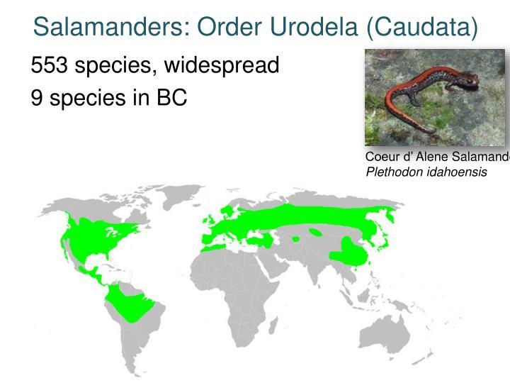 Salamanders: Order