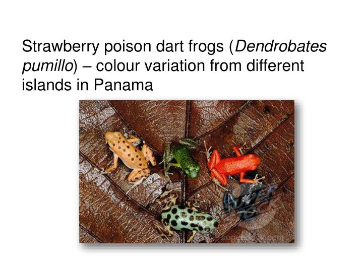 Strawberry poison dart frogs (