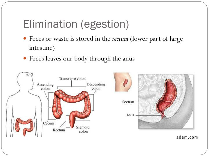 Elimination (egestion)