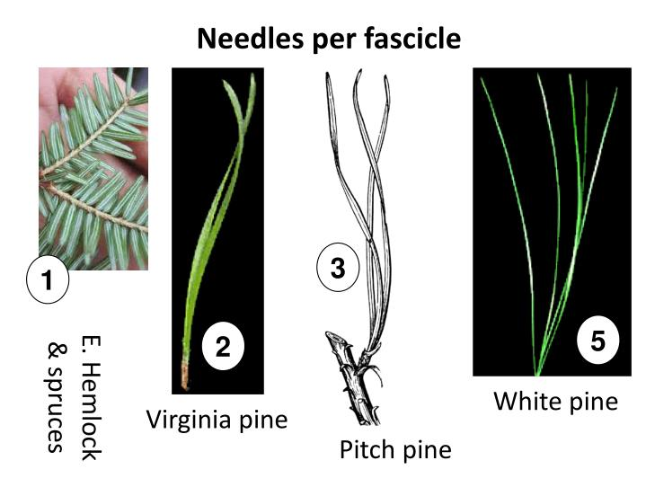 Needles per fascicle