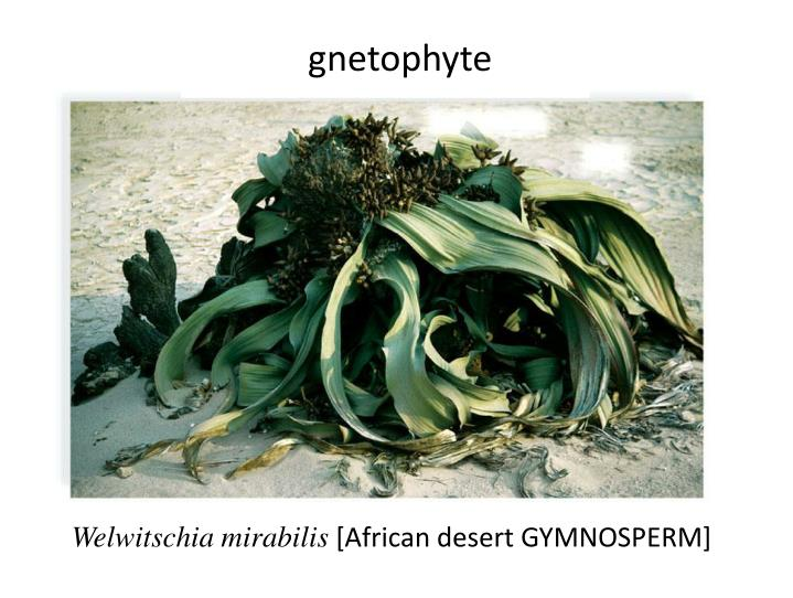 gnetophyte
