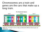 chromosomes are a train and genes are the cars that make up a long train