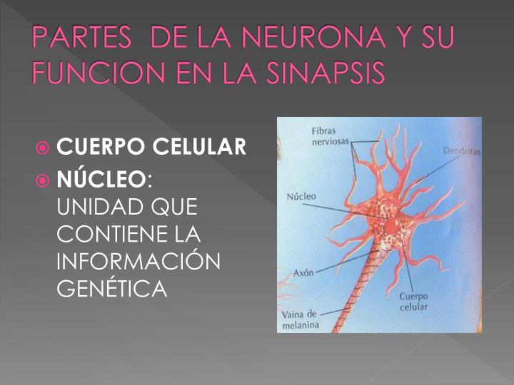 PARTES  DE LA NEURONA Y SU FUNCION EN LA SINAPSIS
