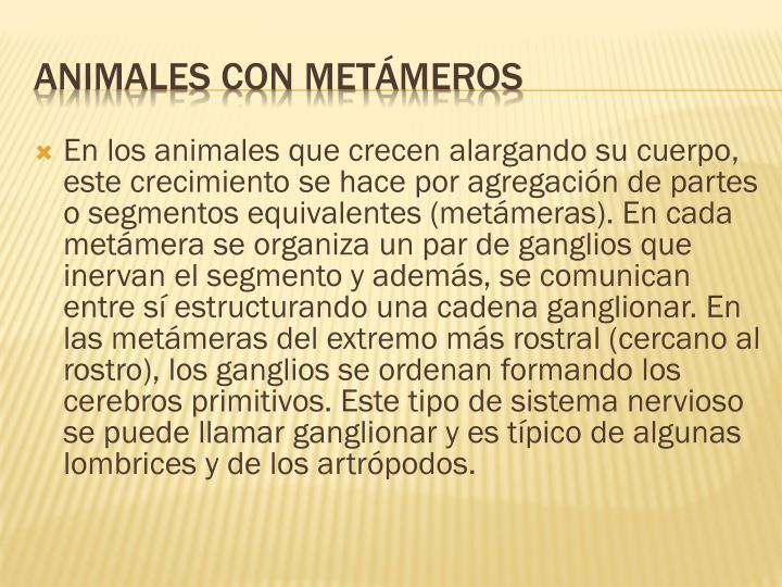 En los animales que crecen alargando su cuerpo, este crecimiento se hace por agregación de partes o segmentos equivalentes (