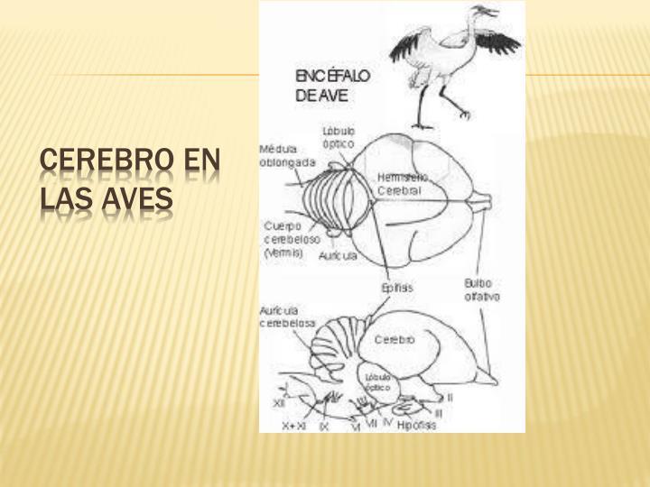 Cerebro en las Aves