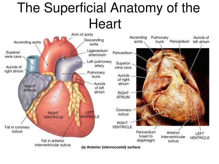 Ppt Chapter 31 Anatomy Of The Heart Powerpoint Presentation Id