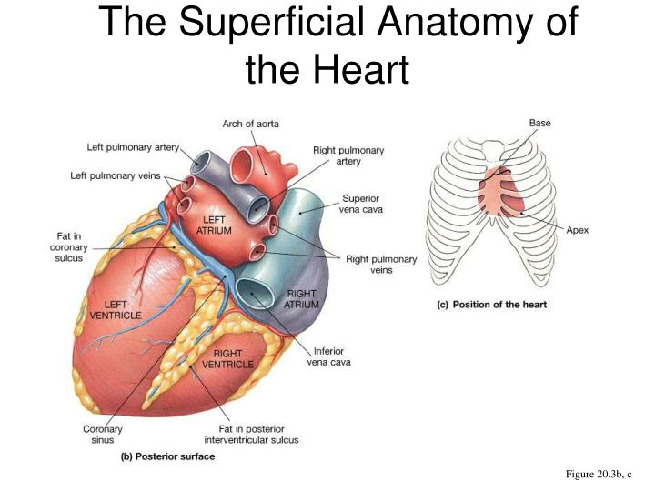 PPT - Chapter 31 Anatomy of the Heart PowerPoint Presentation - ID ...