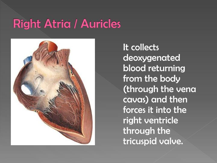 Ppt parts of human heart and their function powerpoint right atria auricles ccuart Gallery