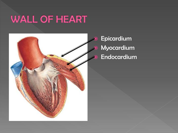 Ppt parts of human heart and their function powerpoint wall of heart ccuart Gallery