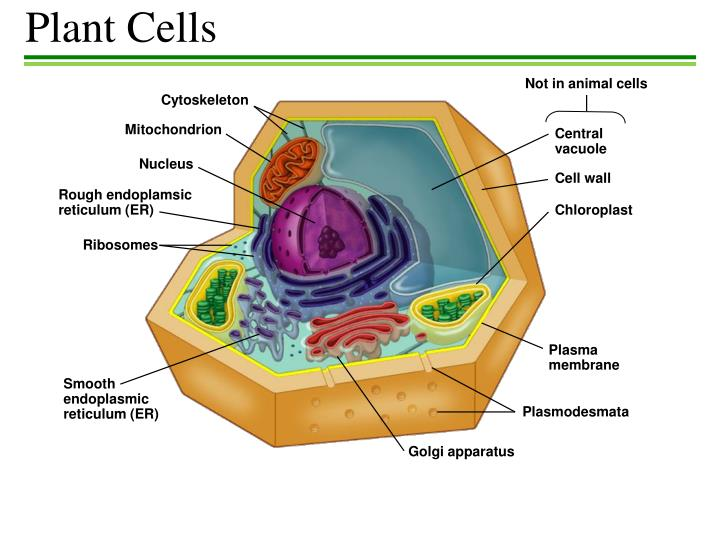 Ppt Plant Cells Powerpoint Presentation Free Download Id 2349840