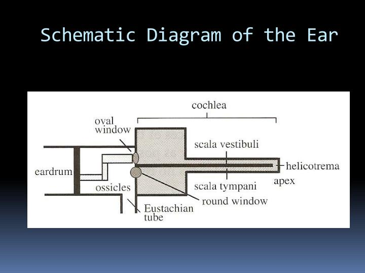 Schematic Diagram of the Ear