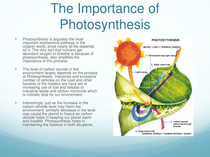 significance of photosynthesis Significance of photosynthesis to mankind (ii) photosynthetic pigments absorb light energy only in the visible part of the spectrum.