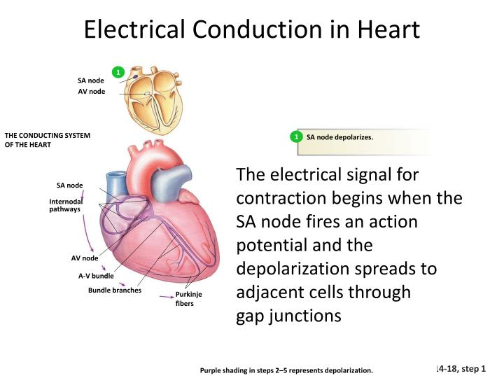 PPT - Electrical Conduction in Myocardial Cells PowerPoint ...