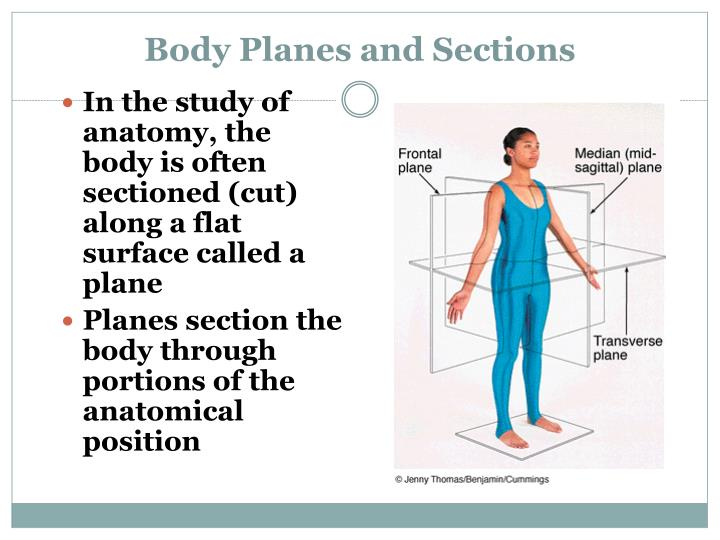 Ppt Anatomical Positions Powerpoint Presentation Id2351456