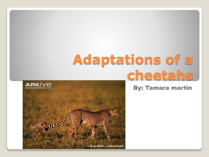 adaptations of a cheetahs n.