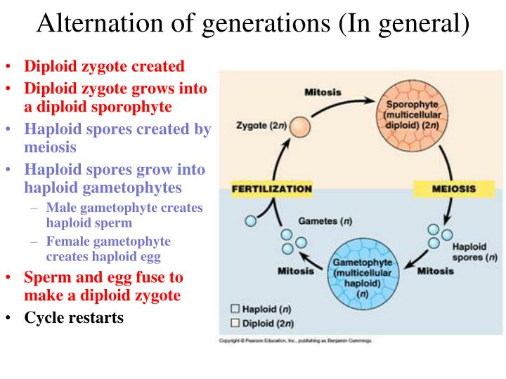 Alternation of generations (In general)