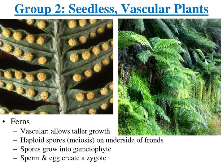 Group 2: Seedless, Vascular Plants