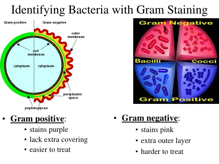Identifying Bacteria with Gram Staining