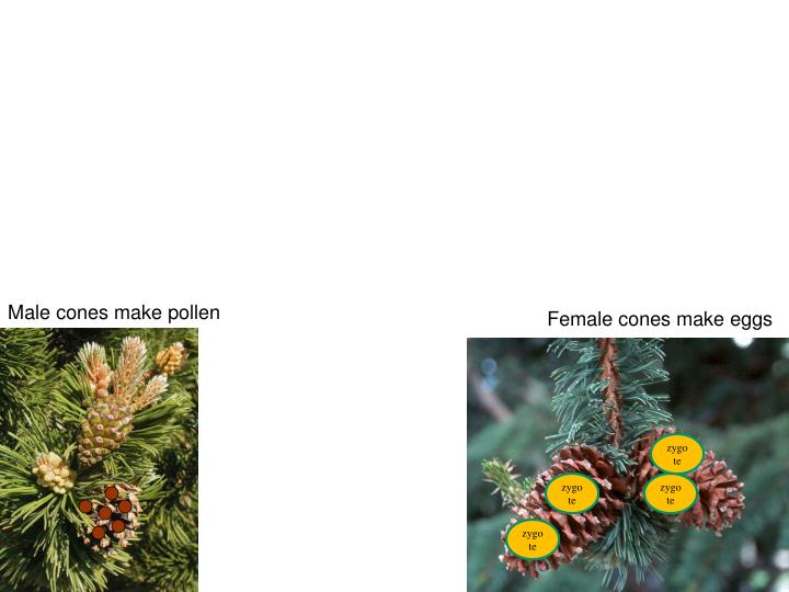 Male cones make pollen