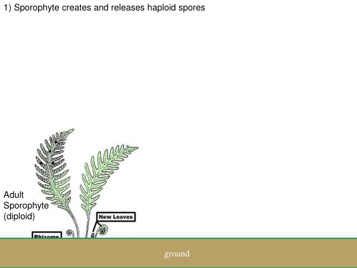 1) Sporophyte creates and releases haploid spores