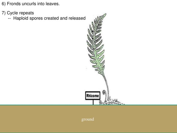 6) Fronds uncurls into leaves.