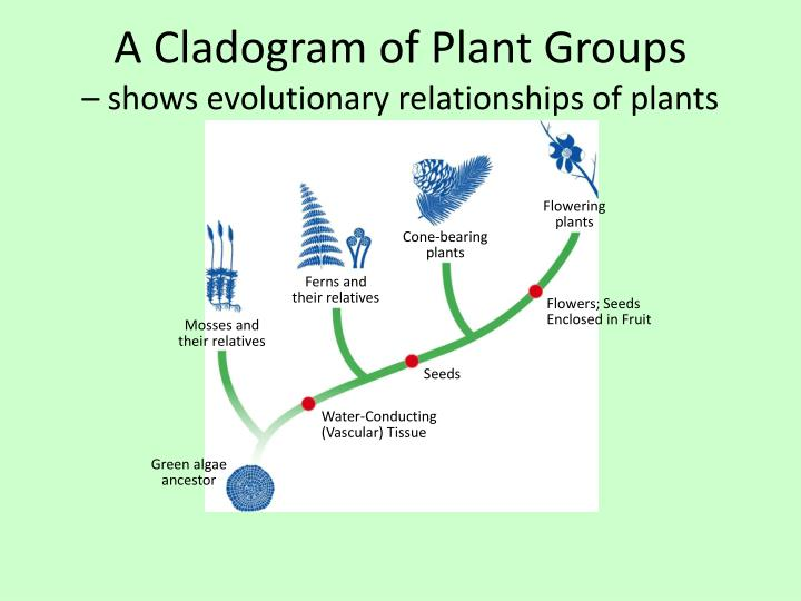 a cladogram of plant groups shows evolutionary relationships of plants n.