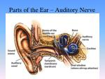 parts of the ear auditory nerve