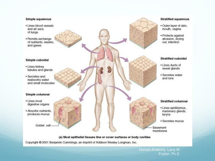 Human Anatomy, Larry M. Frolich, Ph.D.