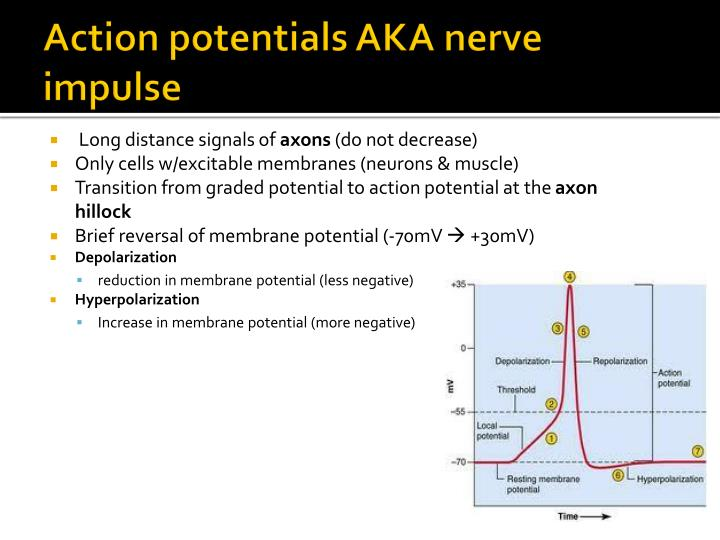 Action potentials AKA nerve impulse