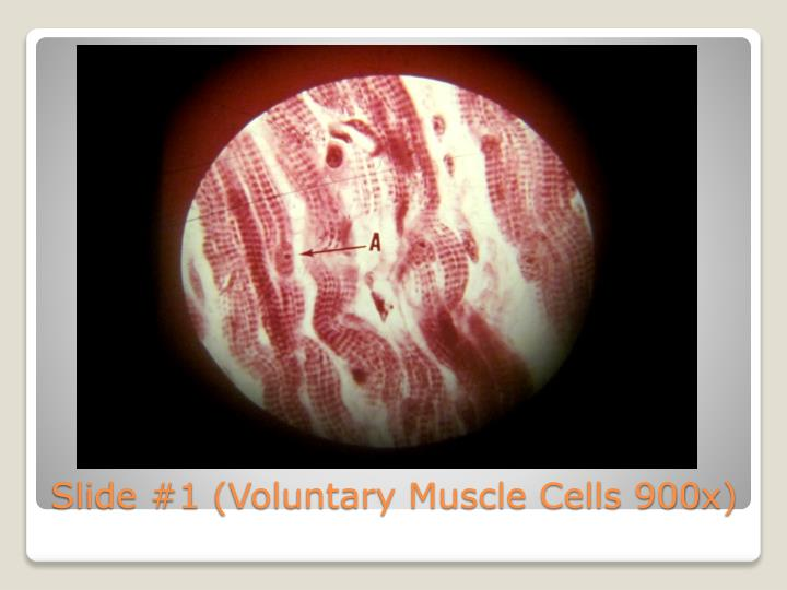 Slide #1 (Voluntary Muscle Cells 900x)