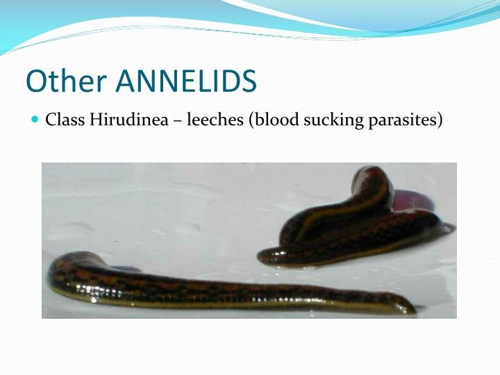 Other ANNELIDS