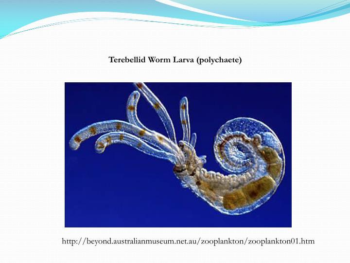 Terebellid Worm Larva (polychaete)
