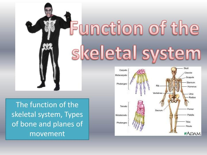 Ppt Function Of The Skeletal System Powerpoint Presentation Id
