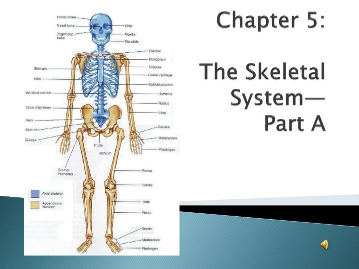 chapter 5 the skeletal system part a n.