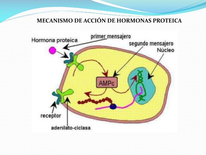 MECANISMO DE ACCIÓN DE HORMONAS PROTEICA