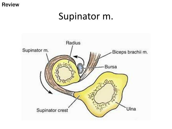 PPT - Supinator m. PowerPoint Presentation - ID:2361121