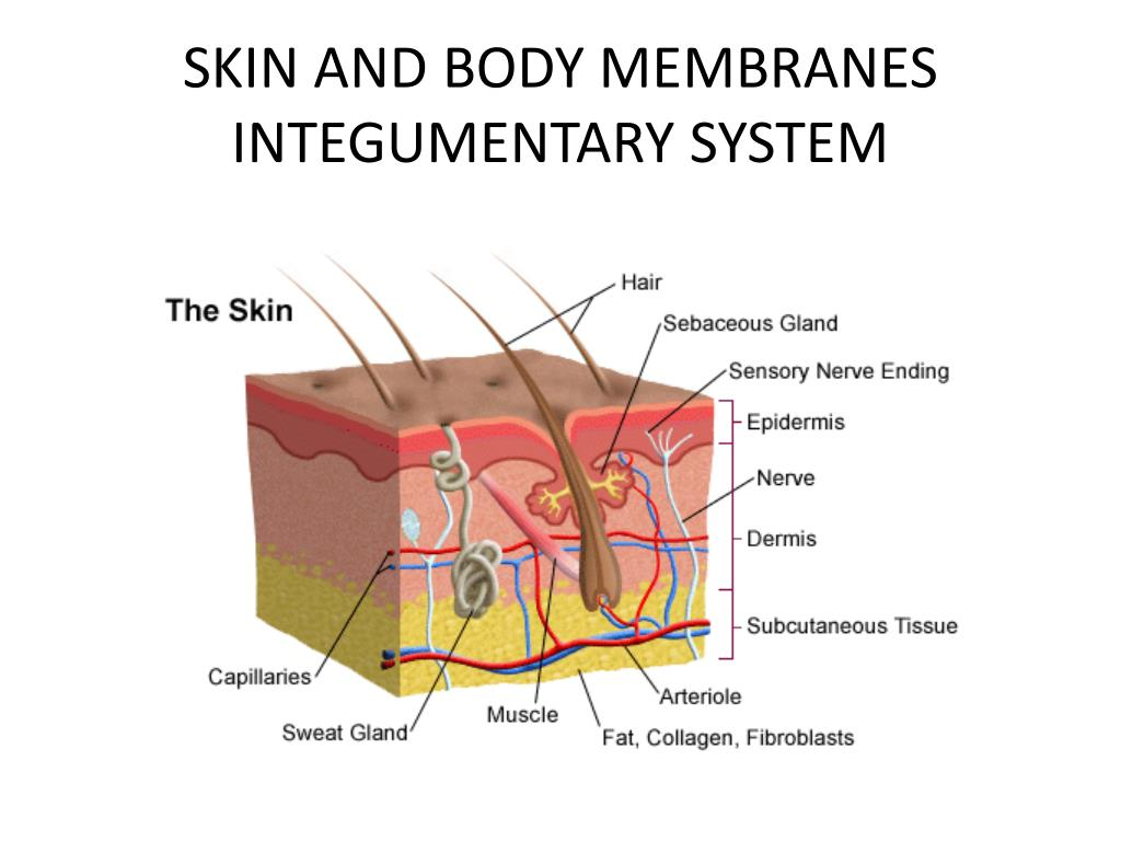 Body Membranes Topsimages