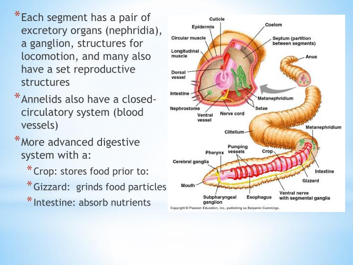 Each segment has a pair of excretory organs (