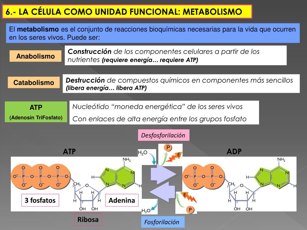 PPT - TEMA 2 Organización celular de los seres vivos..